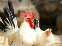 画・蔓延する鳥インフルエン