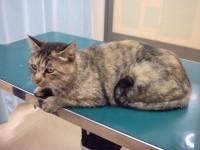 画・新型コロナウイルス、ネコにも感染することを確認。~東大研究