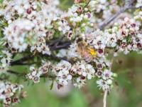 マヌカ花+ミツバチ